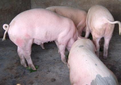 实拍:母猪生崽全过程,一口气生了十几只,小猪仔好可爱!