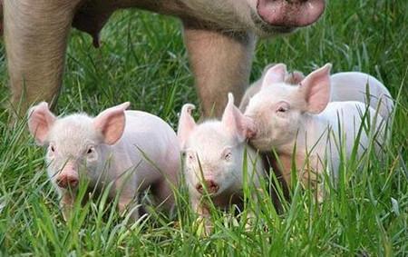 如果用这种办法养猪,能长多少斤,看完真是震惊住了!