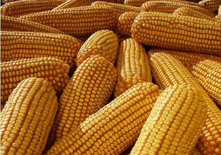 9月12日全国玉米bwin必赢网址